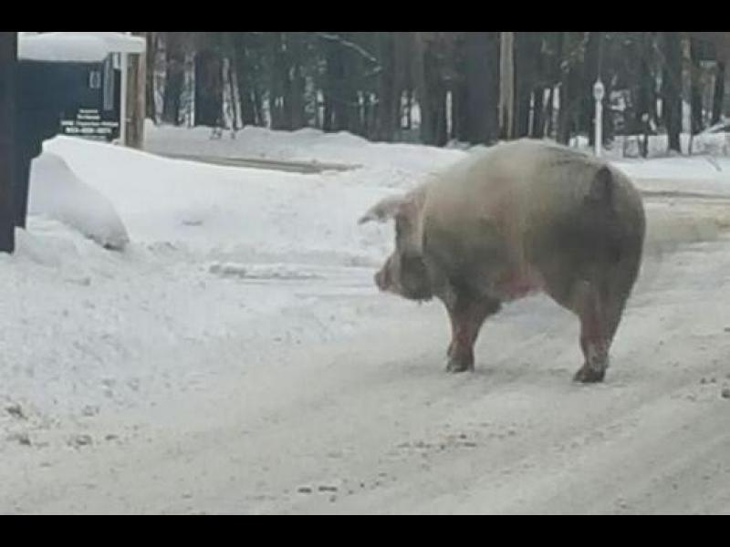 /ВИДЕО/Прасенце излезе на разходка в Ню Хемпшир - картинка 1
