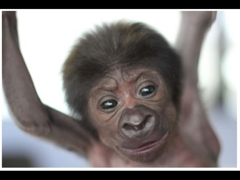 /ВИДЕО/ Уникално! Горилче се роди със секцио в зоопарк - картинка 1