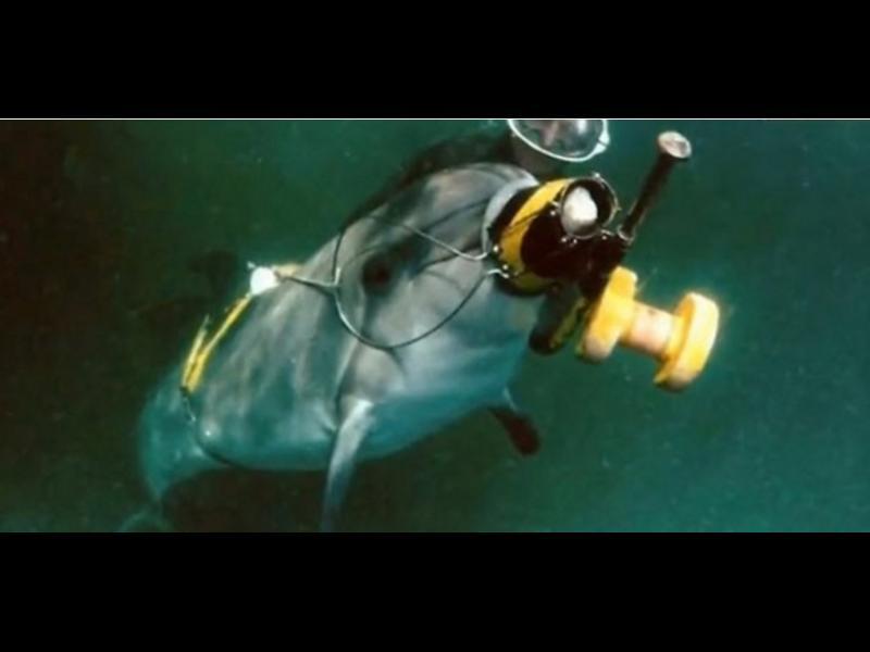 /ВИДЕО/ Руската армия тренира делфини за шпионаж - картинка 1