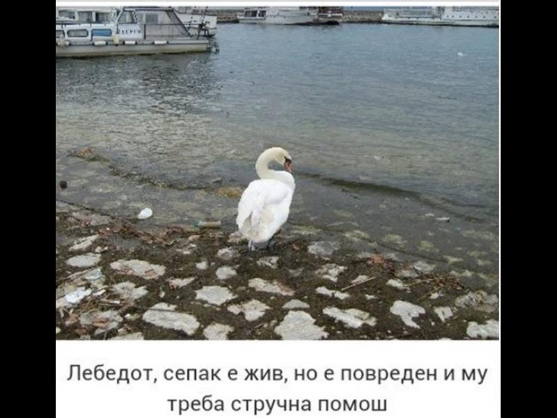 Тормозеният в Охрид лебед е жив - картинка 1
