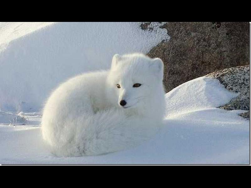 /ВИДЕО/ Арктическа лисица се смее като човек - картинка 1