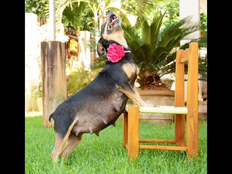 /СНИМКИ/ Това бременно куче е истинска звезда!