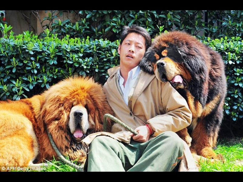 /ВИДЕО/ Интересни факти за Тибетския мастиф - най-голямото куче в света
