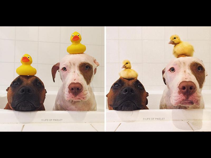 /ВИДЕО+СНИМКИ/ Спасени кучета намират най-добри приятели- патета