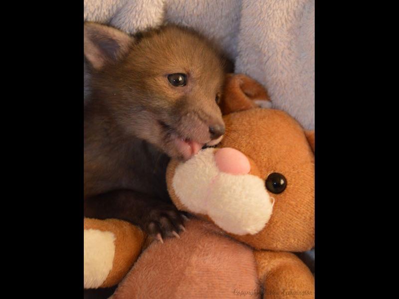 /СНИМКИ/ Спасено лисиче и най-добрият му приятел - картинка 1