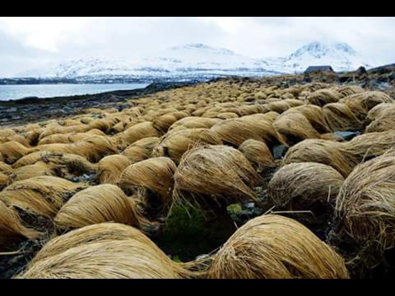 Косата на Доналд Тръмп расте на таен остров в Норвегия - картинка 1
