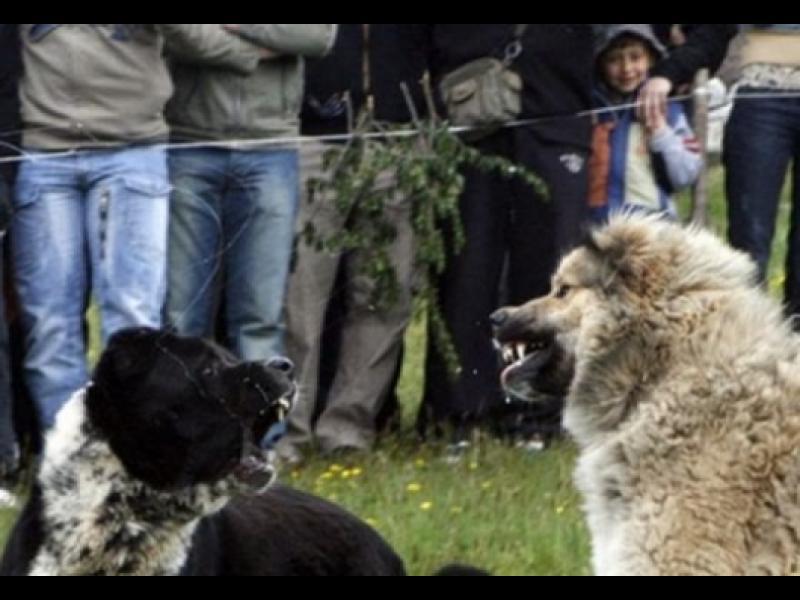 /ВИДЕО/ Кучешките боеве не са мит в България!