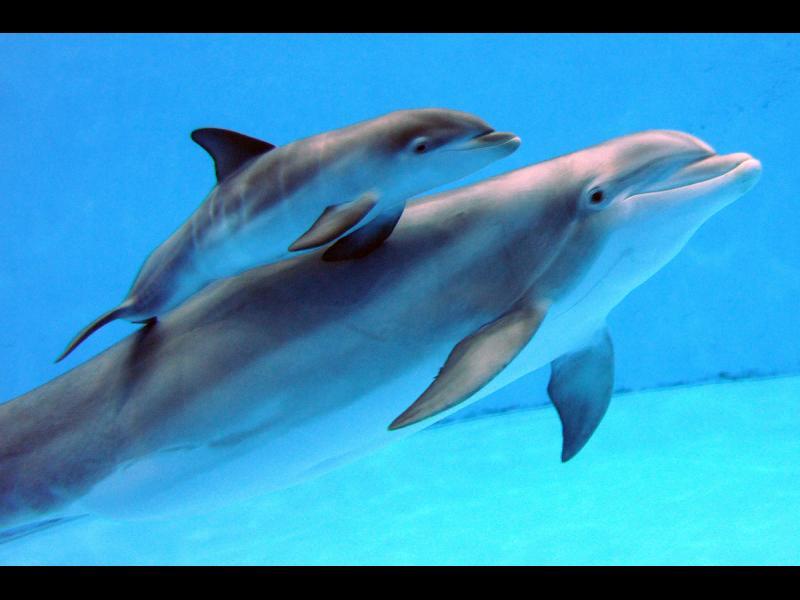 Майката делфин пее на бебетата, докато са в утробата й