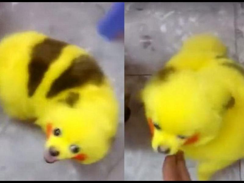 Да обезобразиш кучето си, за да прилича на Пикачу! /ВИДЕО/