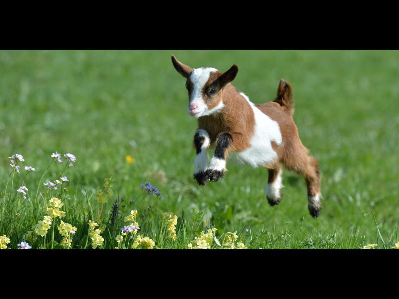 /ВИДЕО/ Моят приятел е коза!
