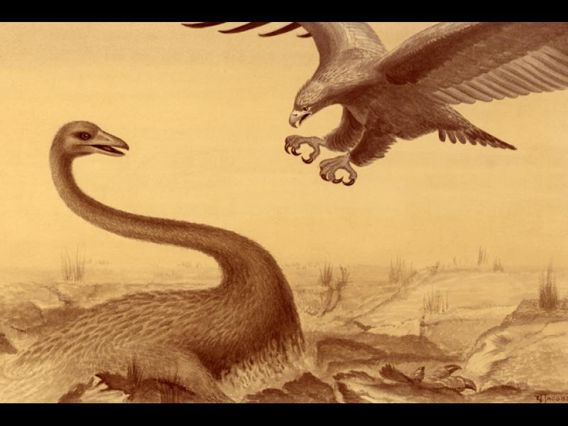 Птицата човекоядец в Нова Зеландия наистина е съществувала