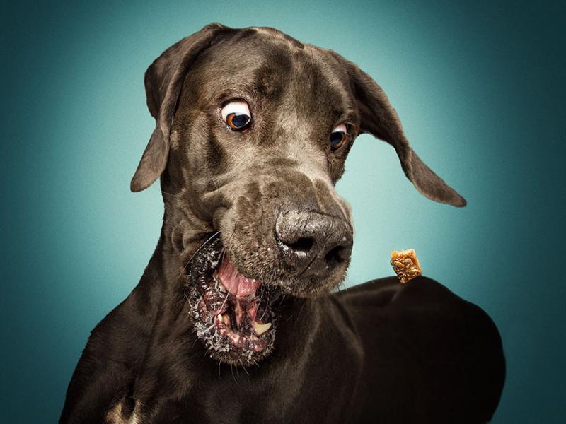 Гепи! Уникални кадри на кучета, ловящи бисквитки във въздуха