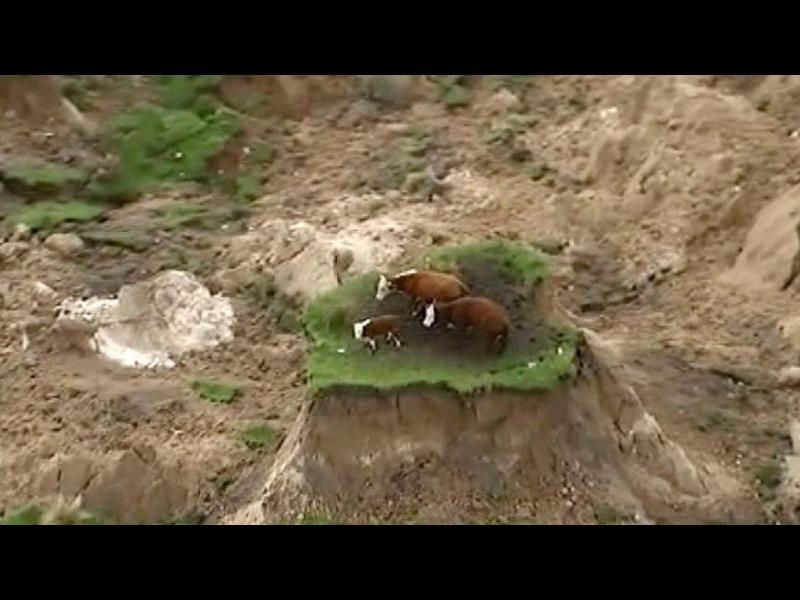 Нова Зеландия: Три крави в капан