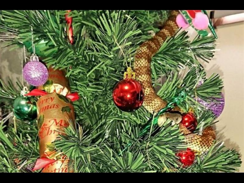 Коледното дръвче е изкуствено, но змията е истинска!