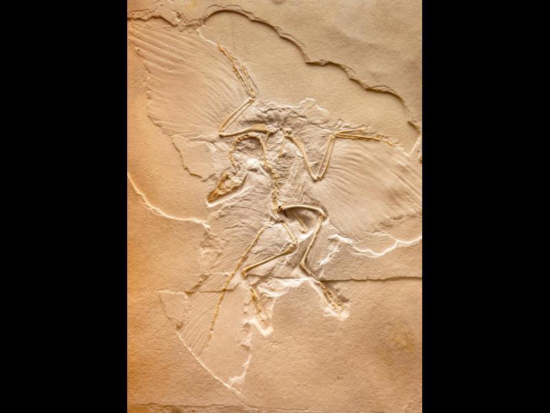 Учени откриха пера от динозавър в кехлибар