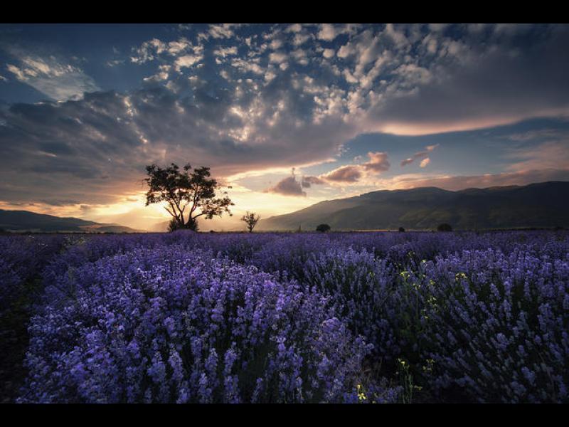 Лавандуловата долина на България - картинка 1