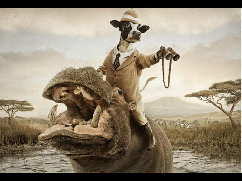 Смешни и смели крави /ГАЛЕРИЯ/