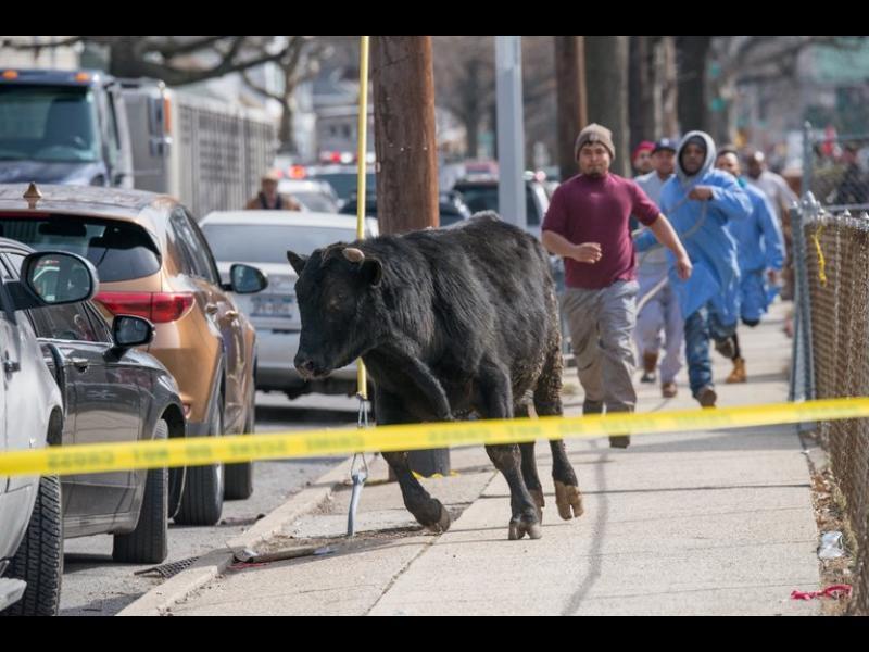Бик се измъкна от кланица в Ню Йорк и предизвика хаос по улиците