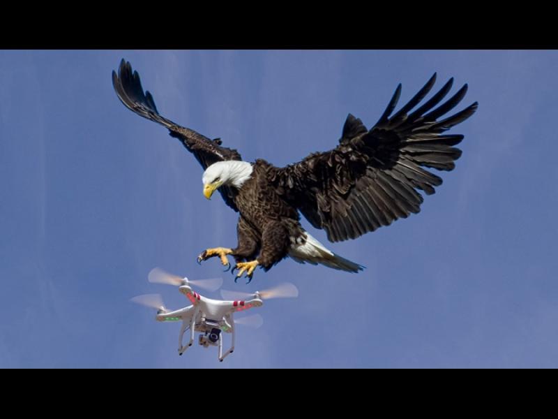 """Птици срещу терористи - френските ВВС обучават орли за """"лов"""" на дронове"""