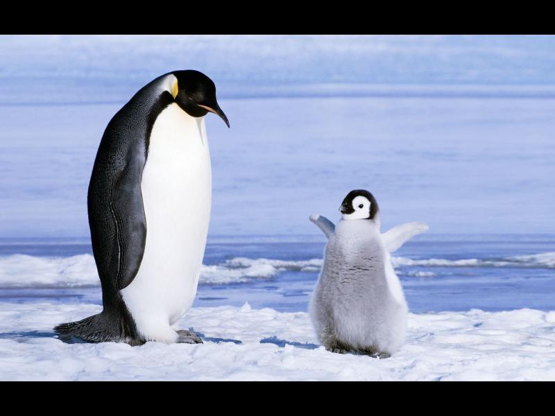 Гигантски пингвин съжителствал с динозаври преди 61 милиона години