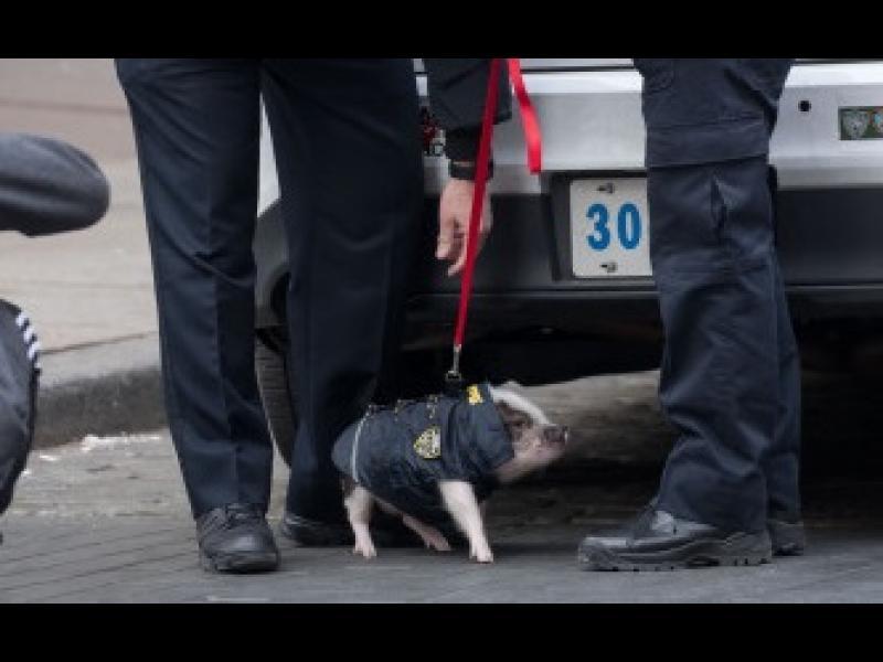 Прасенце стана полицейски патрул в Ню Йорк