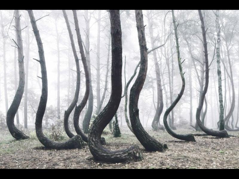 Кривата гора в Полша остава мистерия - картинка 1