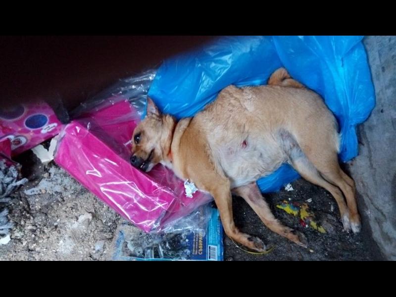 Кучета на общинска съветничка разкъсват невинни животни! /СНИМКИ 18+/