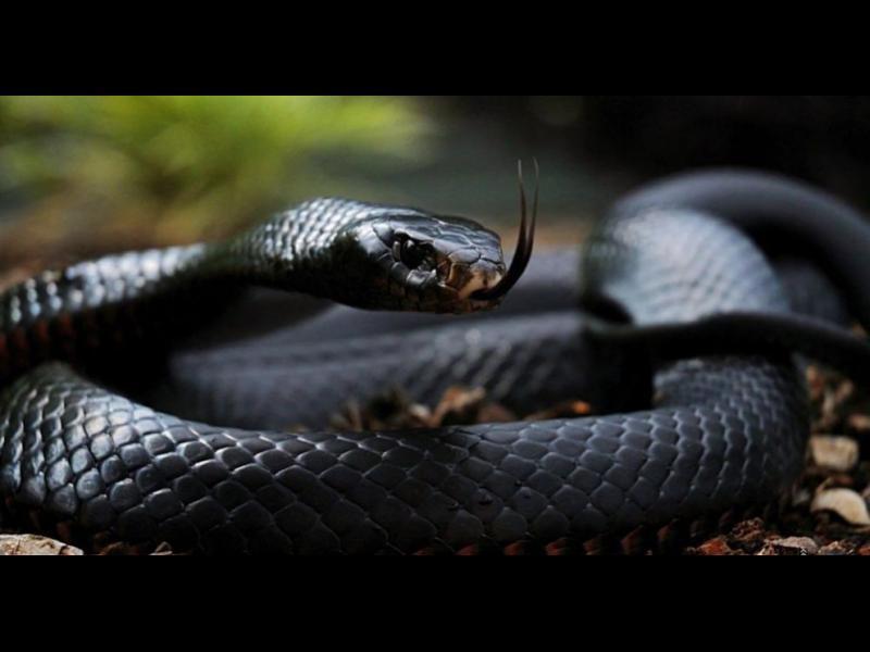 Най-отровните змии в света