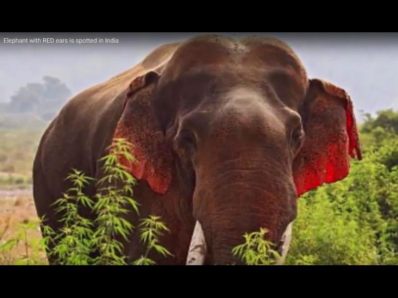 Индиец засне слон с червени уши (ВИДЕО)