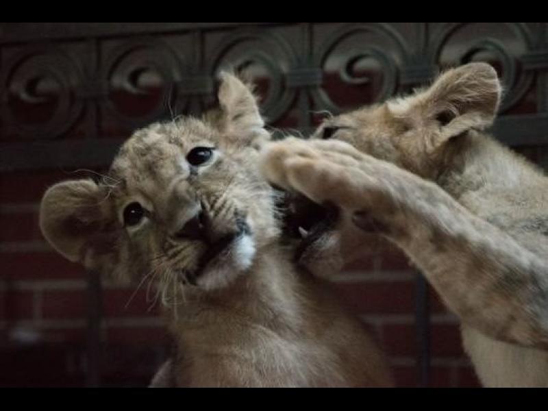 Защитници на животните ще протестират срещу изпращането на двете лъвчета в Пазарджик