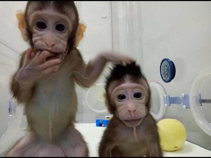 Вижте първите клонирани маймуни. Стъпка към клонирането на хора? (видео)