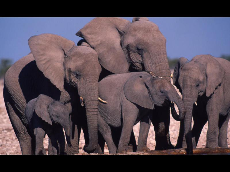 Защо слоновете са толкова устойчиви на рака?