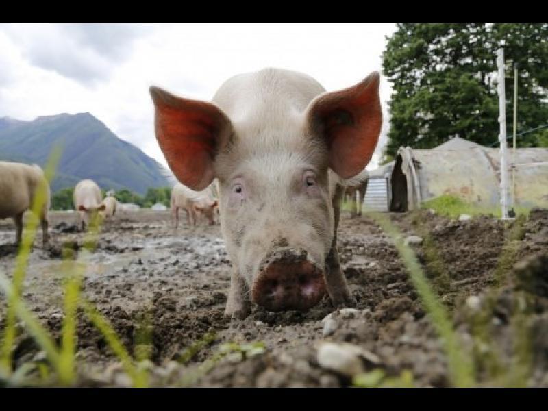 Русия временно забранява вноса на свинско от България