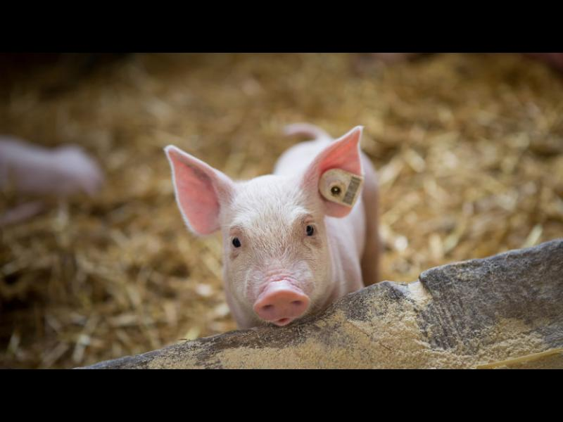 БАБХ влиза в лични стопанства и търси живи прасета за евтаназия